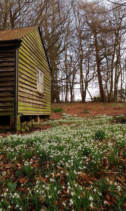 Snowdrops and a wooden building.