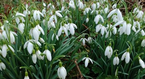 Close up of some snowdrops.