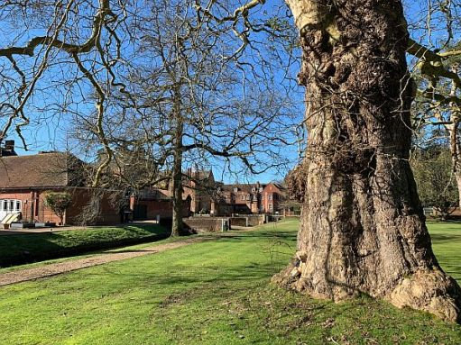 A magnificent London Plane tree, undoubtedly planted by John Evelyn.