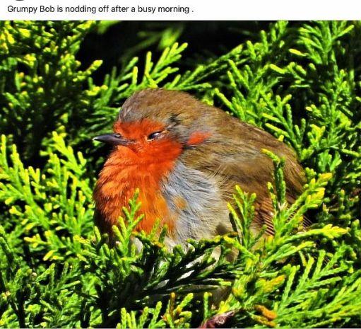 Grumpy Bob, the Robin.