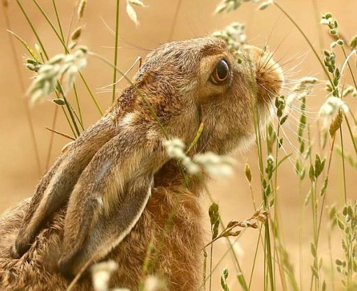Close up of a Rabbit in a field.
