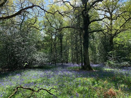 Trees with a bluebell carpet.
