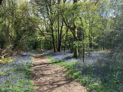 Footpath meandering through the trees with a bluebell carpet either side.