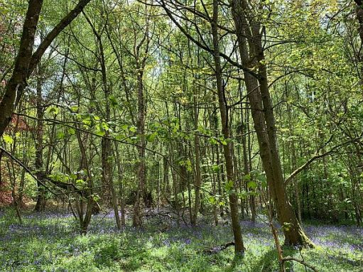 Tall, leafy trees amidst a carpet of Bluebells.