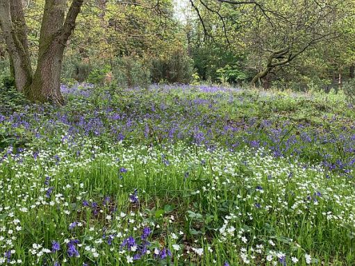 A carpet of Bluebells and Daisies.