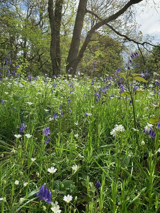 Close up of Bluebells and Daisies.