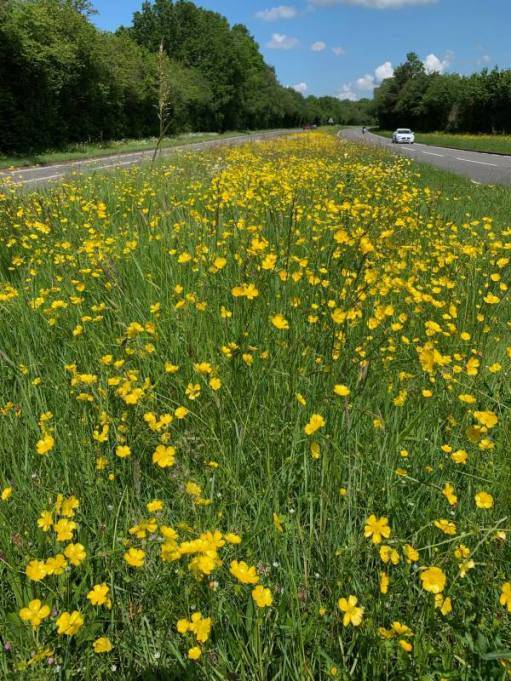 Moon Daisies along the A24 in Surrey