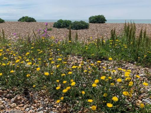 Wildflowers, East Preston Beach.