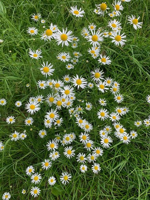 Scentless Mayweed.