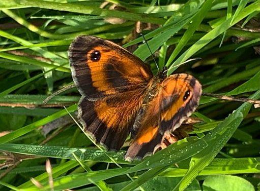 Gatekeeper Butterfly.