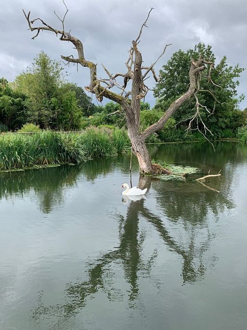 A Swan swimming in a lake with the stump of a dead tree standing in it.