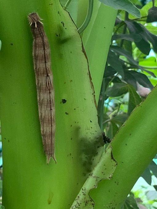 Big Caterpillar.