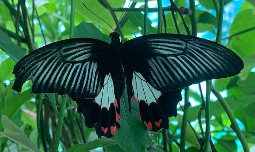 Black, translucent Butterfly.