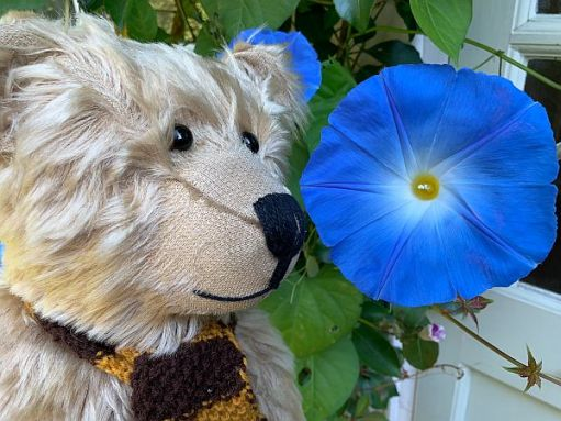 Bertie admiring a blue Morning Glory flower.