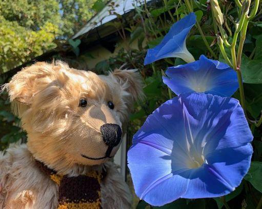 Bertie admiring a new batch of glorious blue Morning Glory flowers.