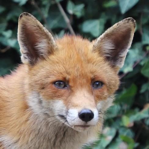 fox egg hunt
