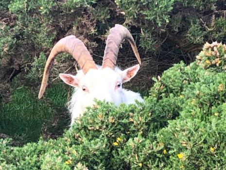 Transformational goat on Holy Island