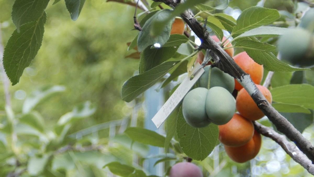 Ein Baum mit 40 verschiedenen Fruchtsorten