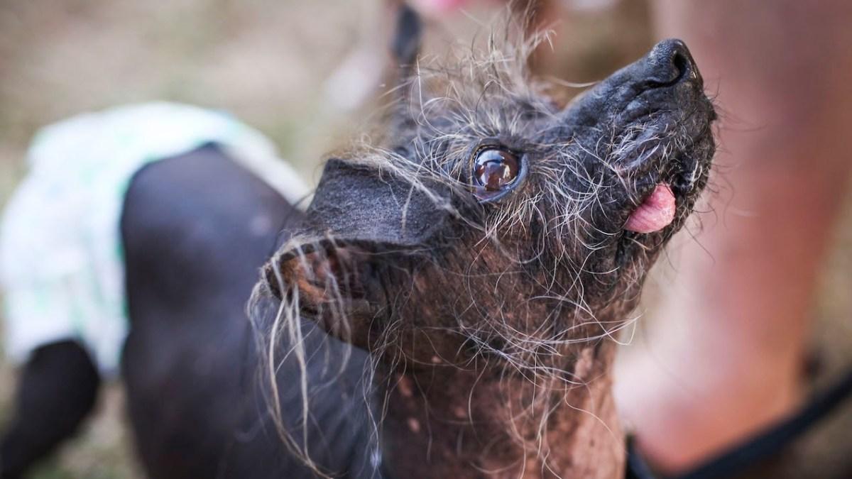 Ein paar Highlights vom World Ugliest Dog Contest 2015
