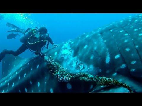 Ein riesiger Walhai lässt sich von Tauchern eine eingewachsene Angelleine entfernen