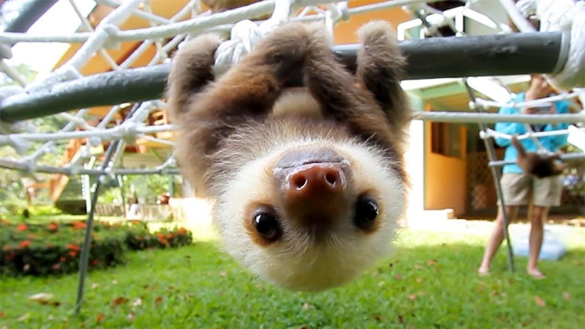 Falls ihr euch fragtet, wie eigentlich kleine Baby-Faultiere klingen…