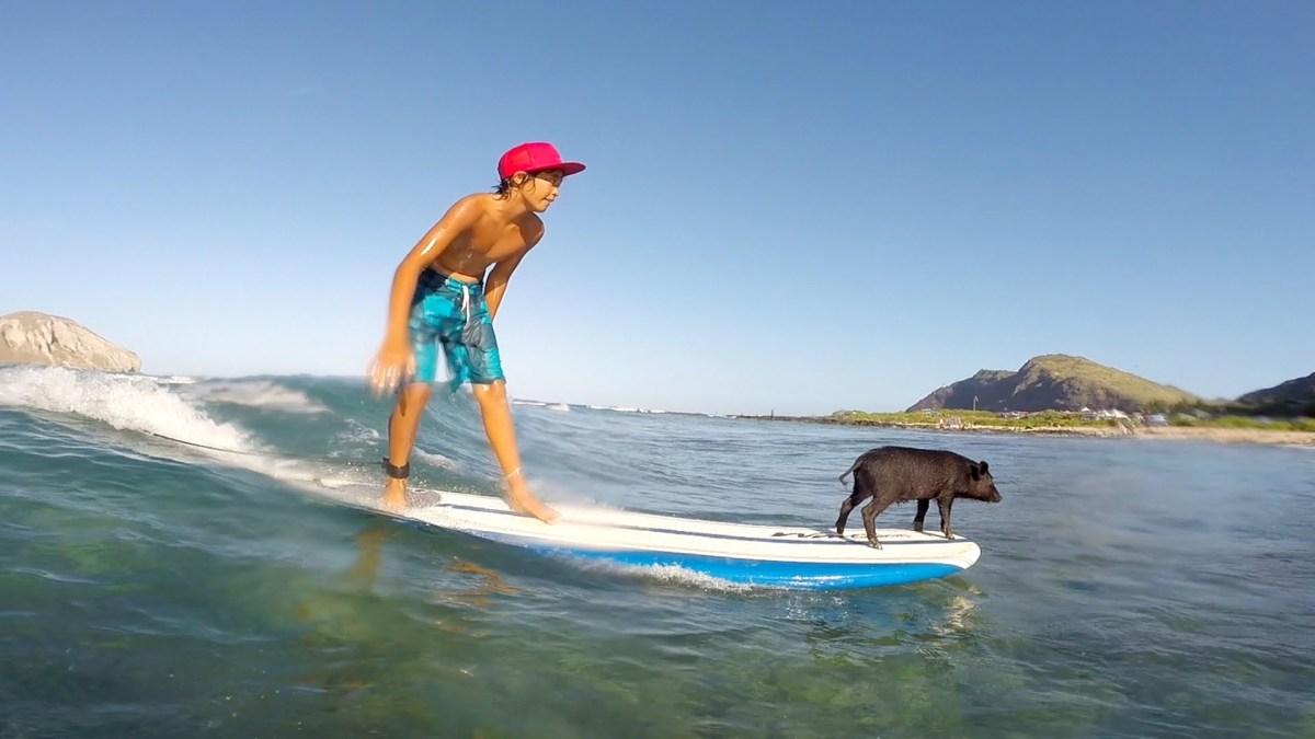 Ein kleines Schweinchen lernt surfen