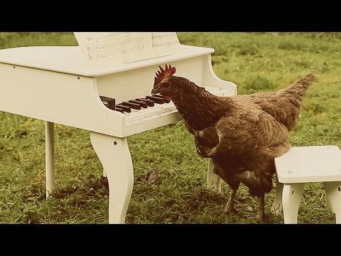 Ein Huhn pickt auf einem Klavier herum – Eine Symphonie