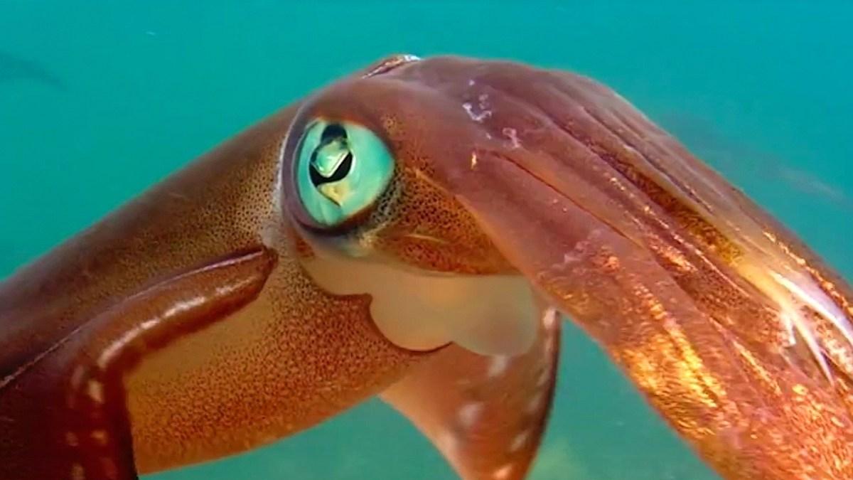 Wie kleine Tintenfische beim Paarungsritual die Farbe wechseln ?