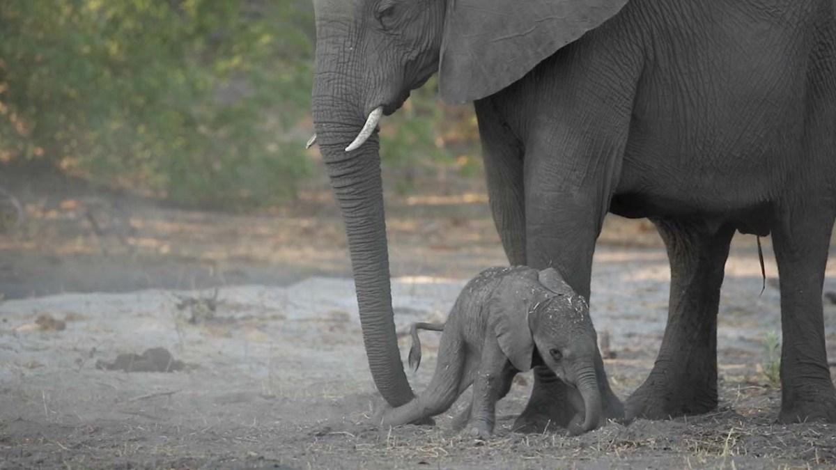 Ein frisch geborenes Elefantenkalb mit Aufstehschwierigkeiten