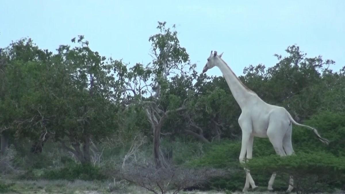 Falls ihr noch nie eine weiße Giraffe gesehen habt: Hier sind zwei, Bitteschön