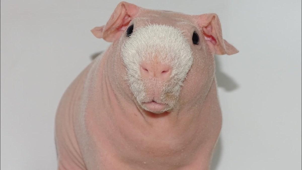 Cute as fluff: Pim, das haarlose Meerschweinchen