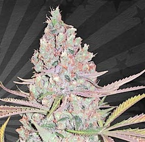 Buy AUTO Berry Ryder FEMINIZED Seeds here