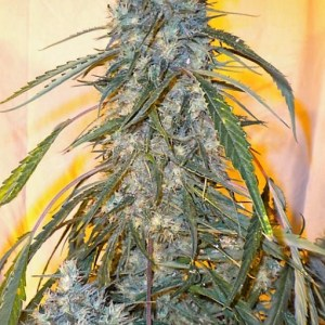 Buy Annapurna SUPERAUTO FEMINIZED Seeds here