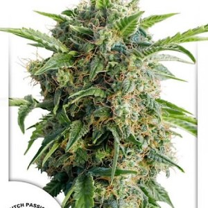 Buy AutoDaiguiri Lime Feminized Seeds here