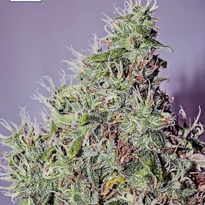 Buy Amnesia Mistery Feminized Seeds (Positronics Seeds) here