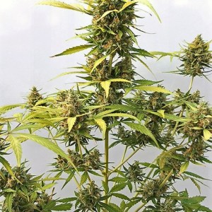 buy Critical#47 Express Autoflowering Feminized Seeds (Positronics Seeds) here