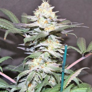 Buy Dutch Skunk Seeds (Jordan of the Islands) here