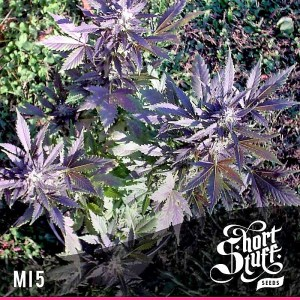 Buy MI5 Autoflowering Feminized Seeds (Shortstuff Seeds) here