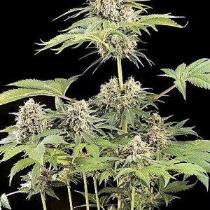 Buy Moby Dick Feminized Seeds (Dinafem) here