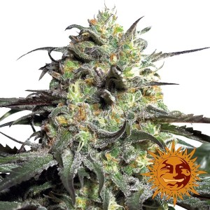 Buy Peyote Cookies Feminized Seeds (Barney's Farm) here