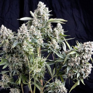 Buy Tutankhamon AUTOFLOWERING FEMINIZED Seeds (Pyramid Seeds) here