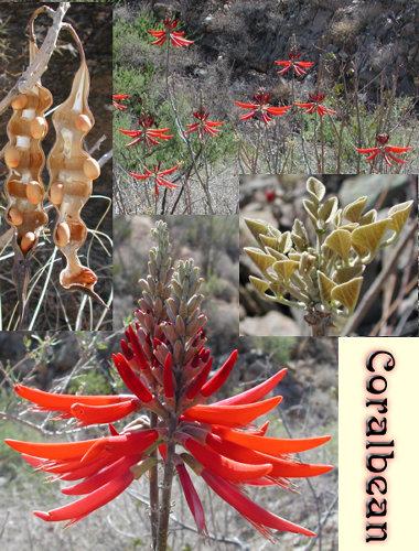 coralbeans