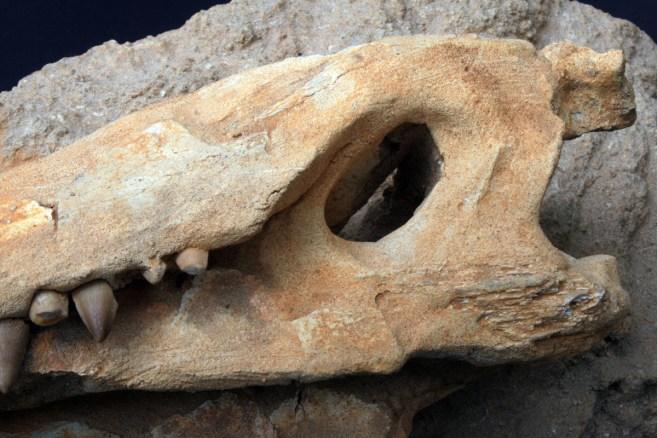 fosil_krokodila (6)
