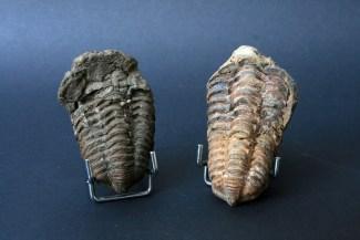 fosili trilobita