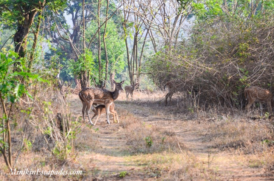 Deer in Masinagundi at the Wilds