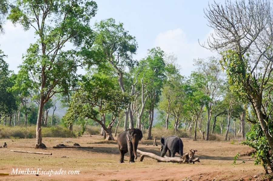 Elephants at Bandipur national park