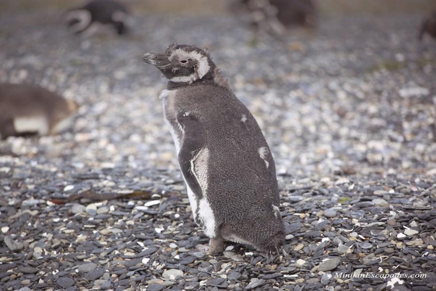 Molting young Penguin on Isla Martillo, Ushuaia with Pira tour