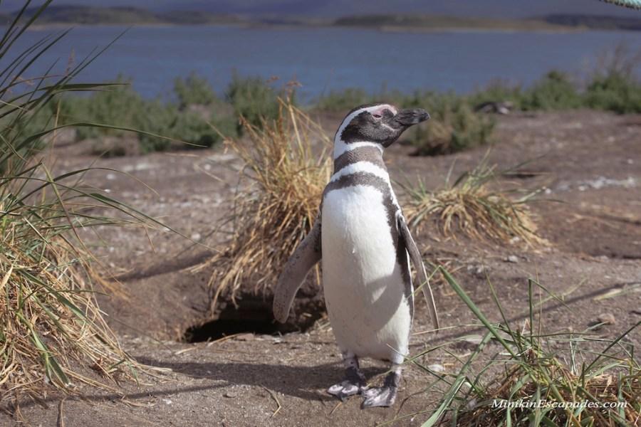 Penguins on Isla Martillo, Ushuaia with Pira tour