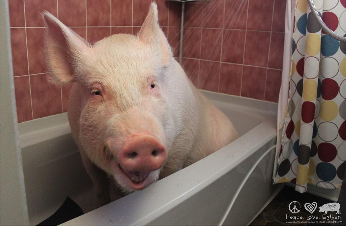 Image result for frightened pig meme