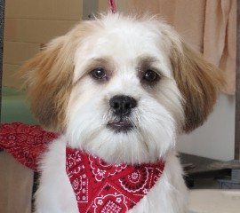 a shih tzu haircut